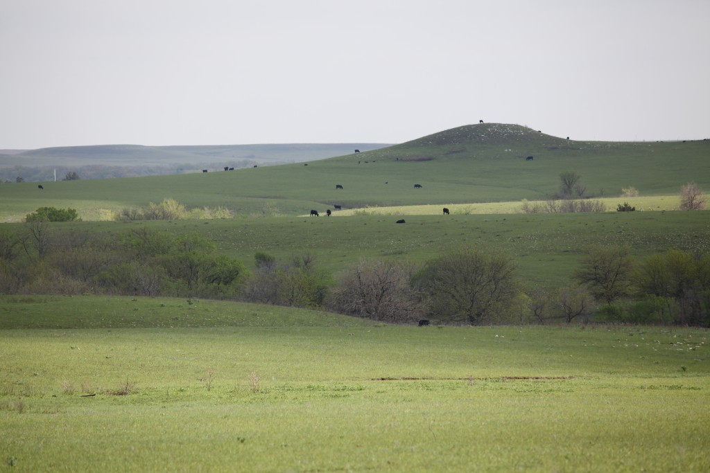 Flint hills landscape dotted with cattle