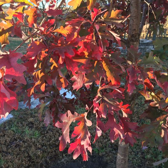 white oak-red-fall-foliage