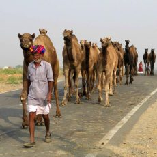 Camels:  From Kansas to India